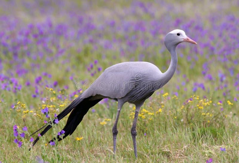 Pássaro azul do guindaste imagens de stock royalty free
