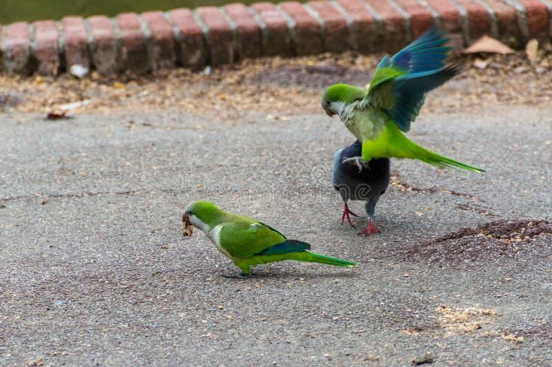 Pássaro azul do verde do monachus de Parakeet Myiopsitta da monge imagem de stock
