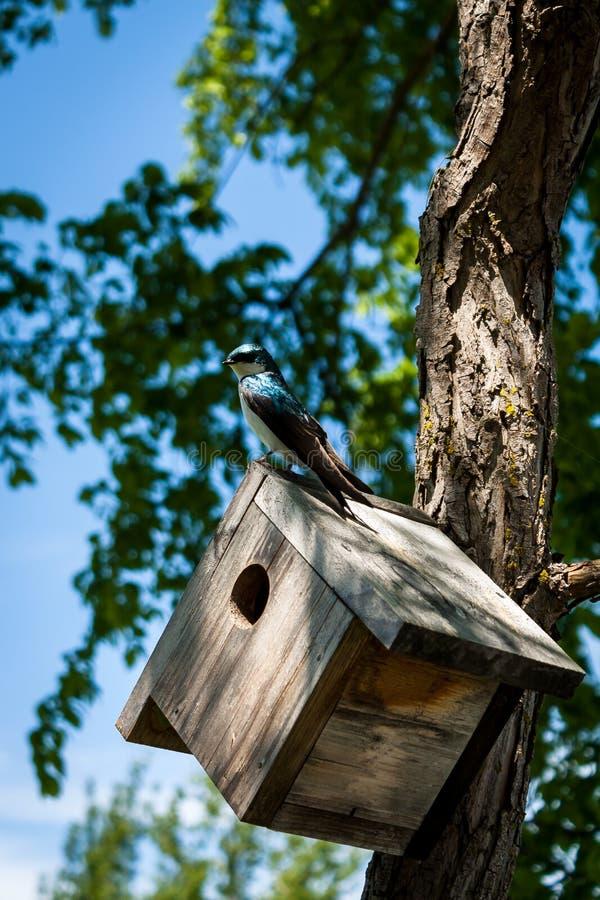 Pássaro azul na caixa-ninha imagens de stock royalty free