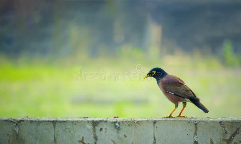 Pássaro bengali igualmente conhecido como o indiano Myna imagens de stock royalty free