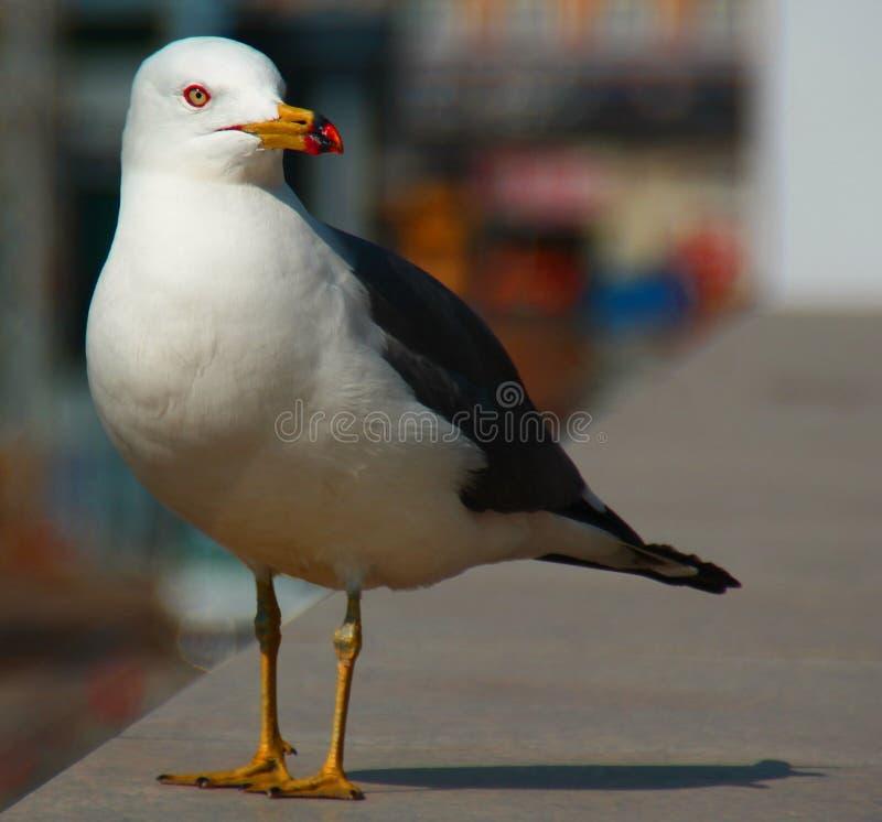 Pássaro, Bluetail Himalaia masculino em uma cidade imagem de stock