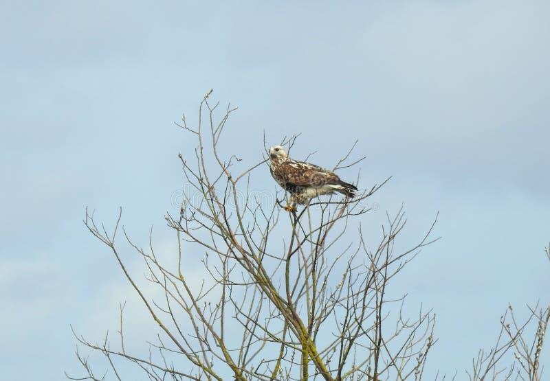 Pássaro bonito da águia no ramo de árvore, Lituânia foto de stock royalty free
