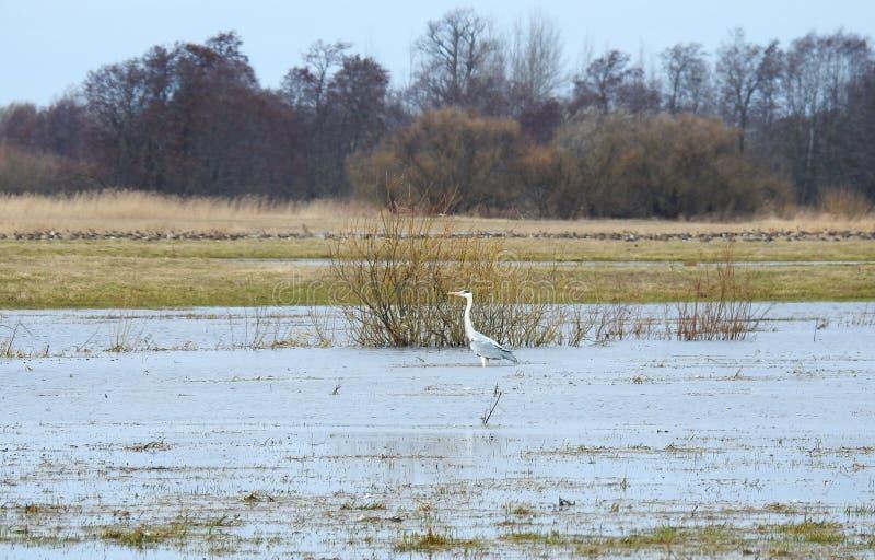 Pássaro bonito da garça-real no campo de inundação, Lituânia imagens de stock royalty free