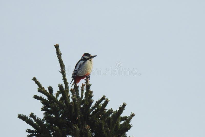 Pássaro bonito do pica-pau na parte superior da árvore, Lituânia fotografia de stock