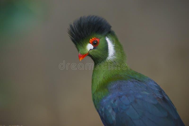 Pássaro bonito do Turaco fotos de stock