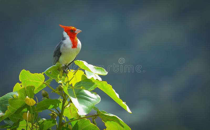 Pássaro bonito em Havaí fotos de stock