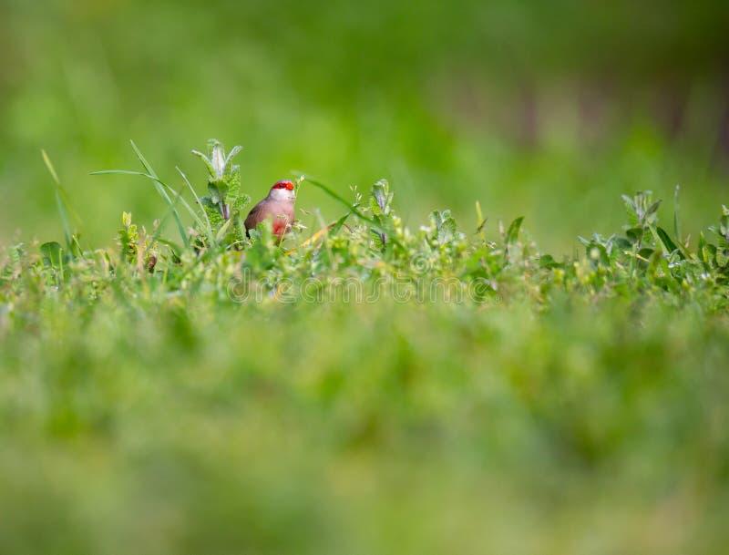 Pássaro bonito pequeno do Bico-de-lacre do astrild do Estrilda que come em um campo de grama fotografia de stock royalty free
