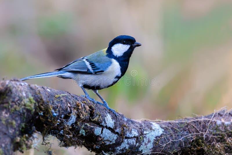 Pássaro bonito que empoleira-se no ramo foto de stock royalty free