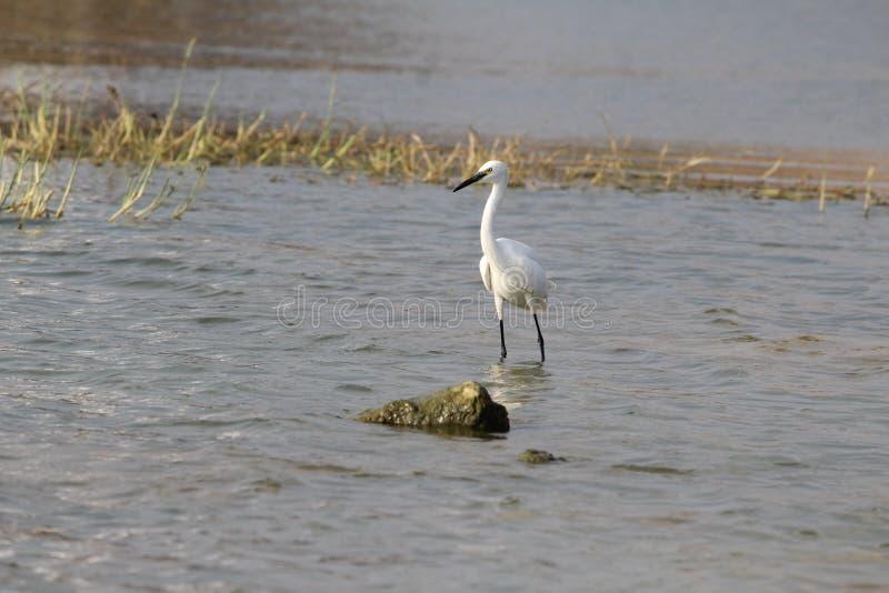 Pássaro branco fotografia de stock royalty free