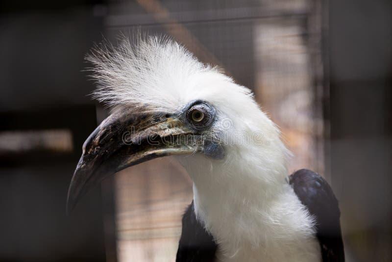 pássaro Branco-coroado do hornbill fotos de stock royalty free