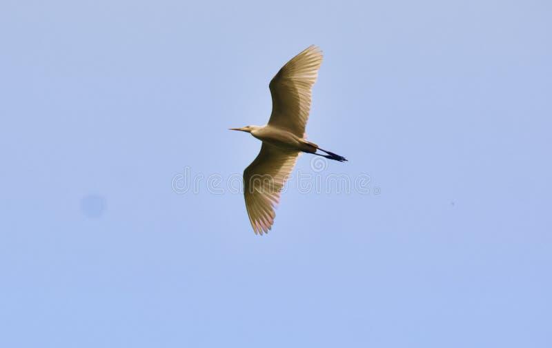 Pássaro branco da cor do aigrette do pássaro da águia pescadora que pesca o céu do voo foto de stock