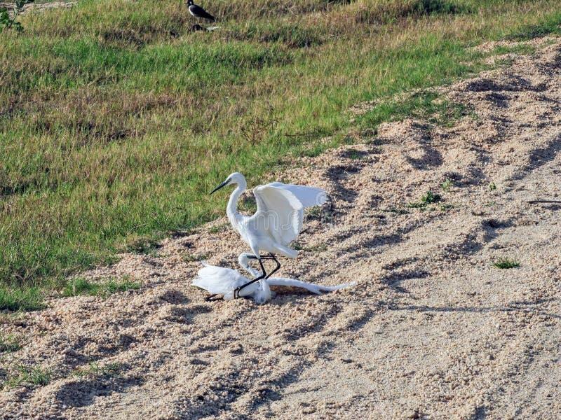 Pássaro branco da garça-real em Sri Lanka fotografia de stock