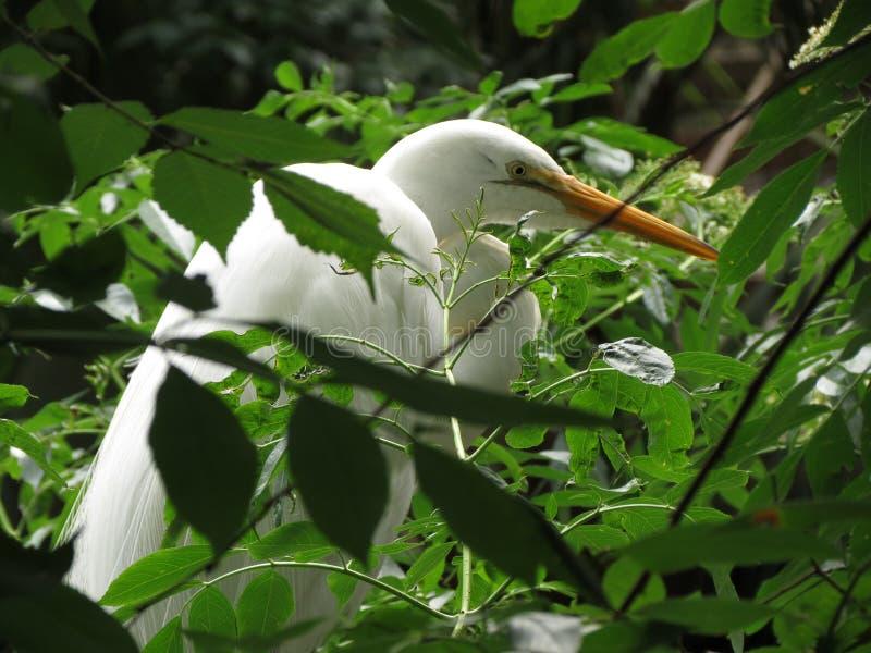 Pássaro branco da garça-real na árvore imagens de stock royalty free