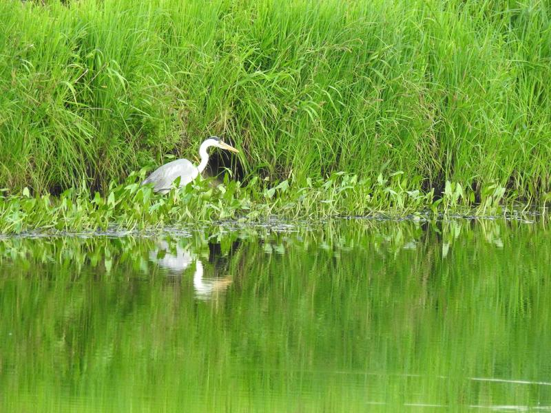 Pássaro branco de herão no campo, Lituânia foto de stock