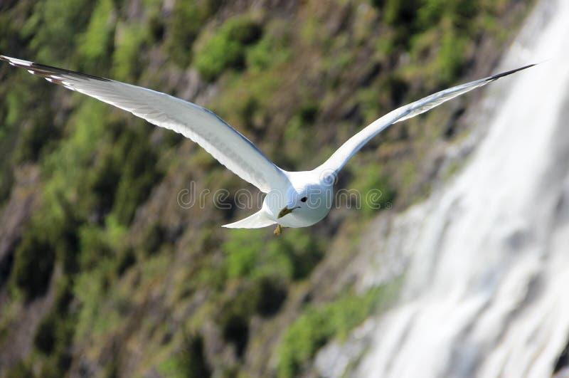 Pássaro branco de voo fotografia de stock royalty free