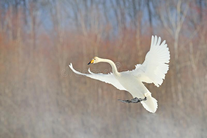 Pássaro branco de voo, cisne de Whooper, cygnus do Cygnus, com a floresta do inverno no fundo, Hokkaido, Japão Cena dos animais s imagens de stock