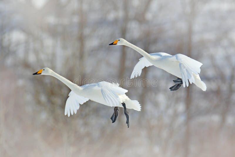 Pássaro branco de voo, cisne de Whooper, cygnus do Cygnus, com a floresta do inverno no fundo, Hokkaido, Japão Cena dos animais s foto de stock