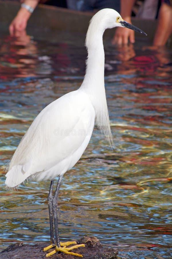Pássaro branco do guindaste imagens de stock