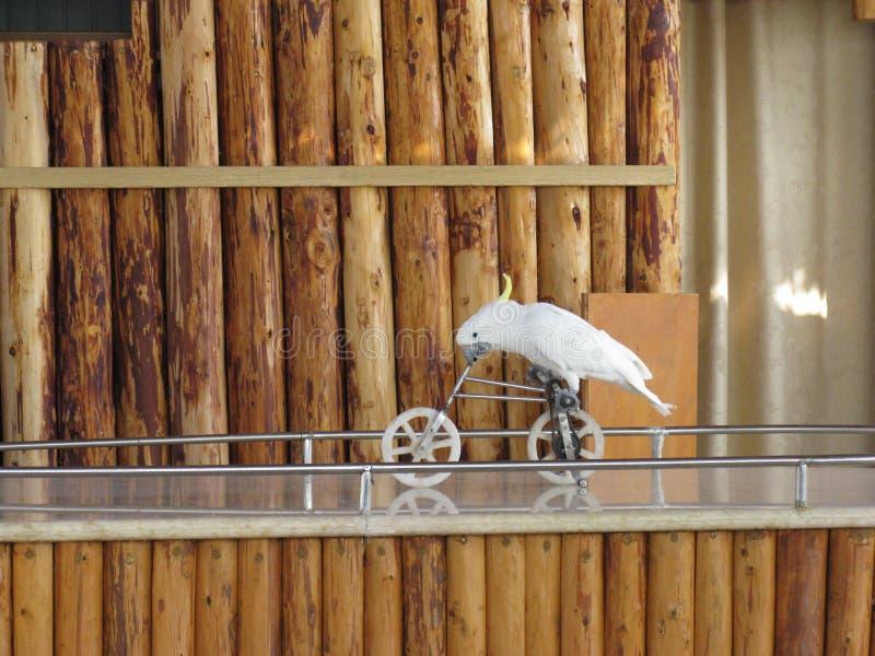 Pássaro branco que faz o truque montando a bicicleta com fundo de madeira fotos de stock royalty free