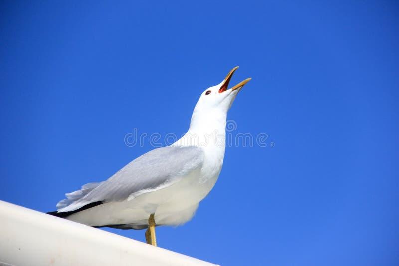 Pássaro branco que opeing sua boca foto de stock royalty free