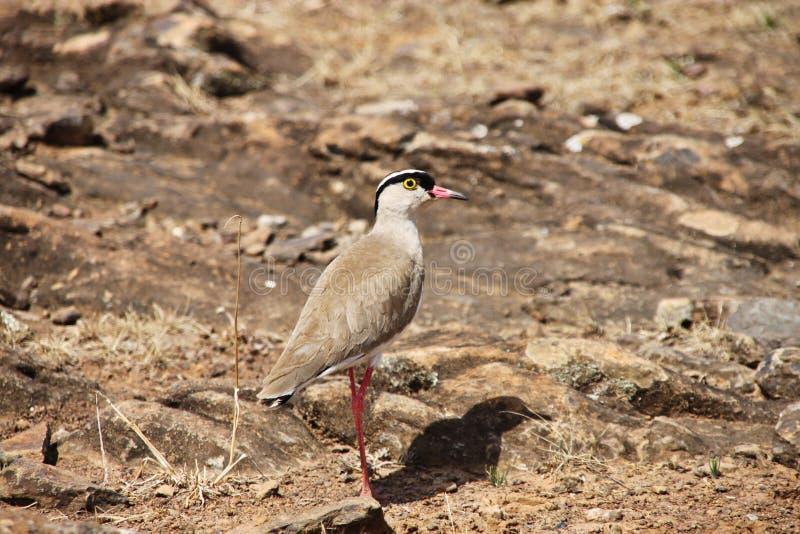 pássaro Bronze-voado do courser, vista lateral fotografia de stock royalty free