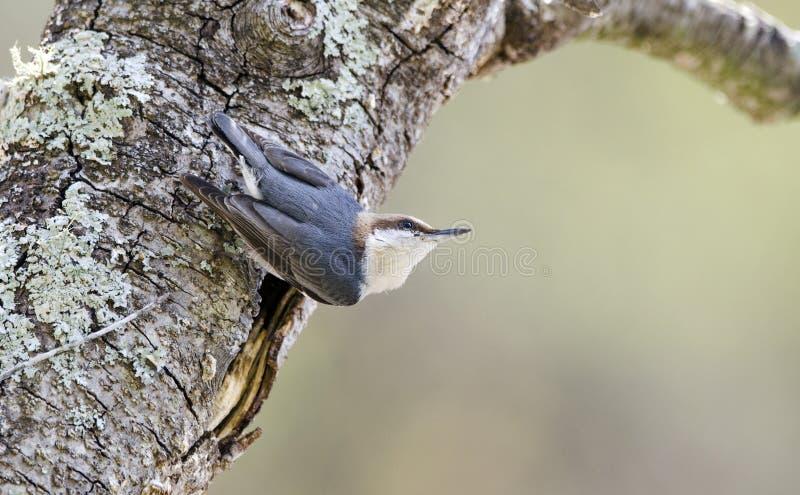 pássaro Brown-dirigido do pica-pau-cinzento, Walton County Monroe Georgia imagem de stock royalty free