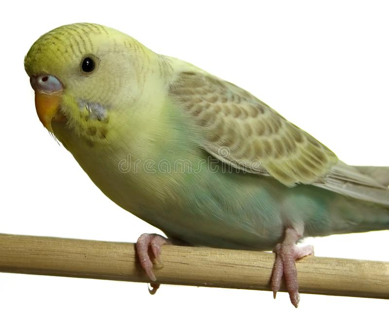 Pássaro - Budgeriegar Fotos De Stock