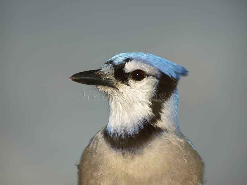 Pássaro cardinal   fotos de stock