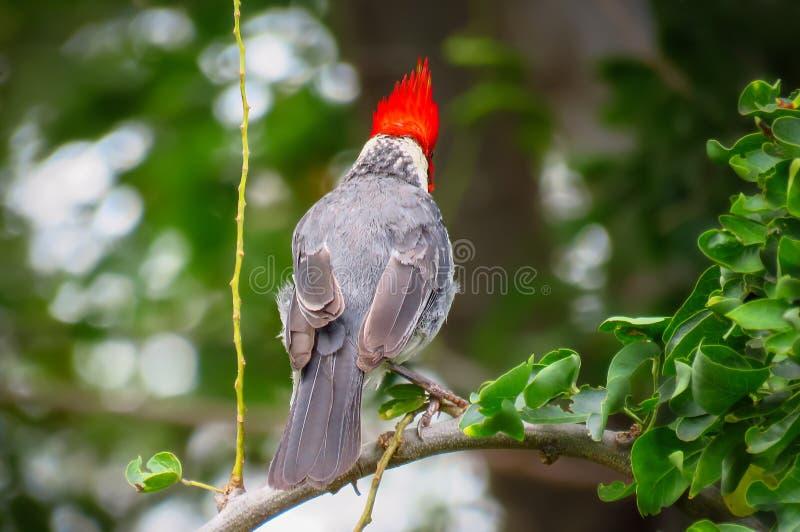 Pássaro cardinal de crista encarnada visto da parte traseira, Kauai, Havaí, EUA imagens de stock