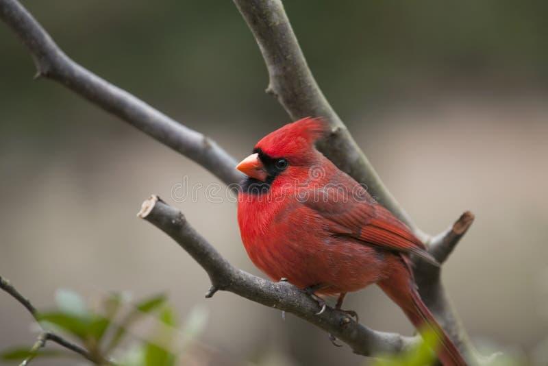 Pássaro cardinal do norte masculino imagens de stock royalty free