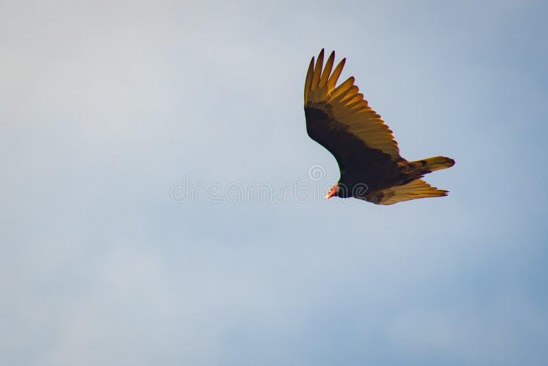 Pássaro castanho e amarelo voando no céu fotografia de stock royalty free