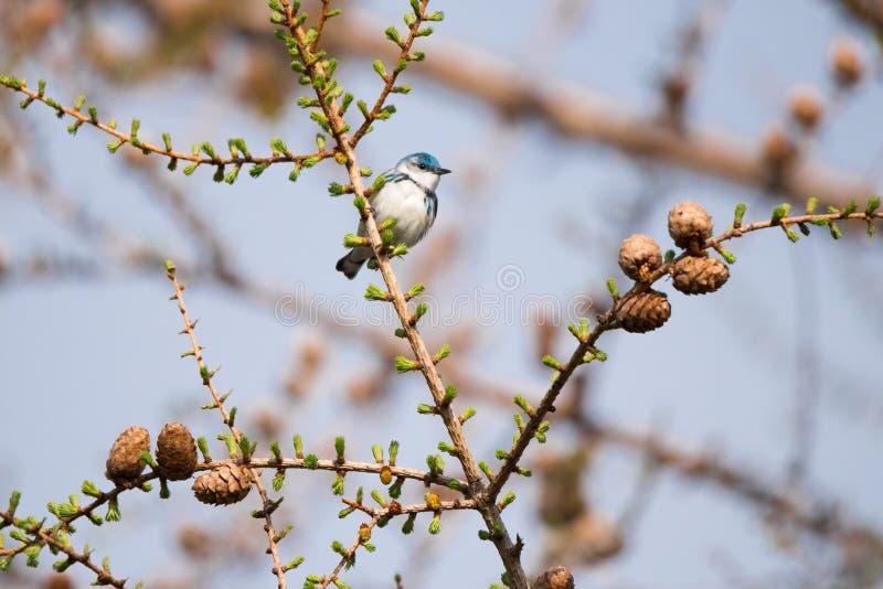 Pássaro Cerulean da toutinegra na árvore sempre-verde, Toronto imagens de stock