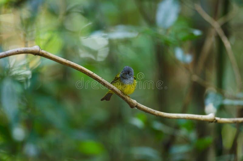 pássaro Cinzento-dirigido do Canário-papa-moscas em Tailândia imagem de stock royalty free