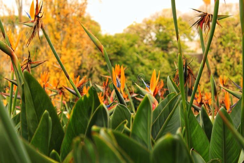 Pássaro colorido da flor de paraíso foto de stock
