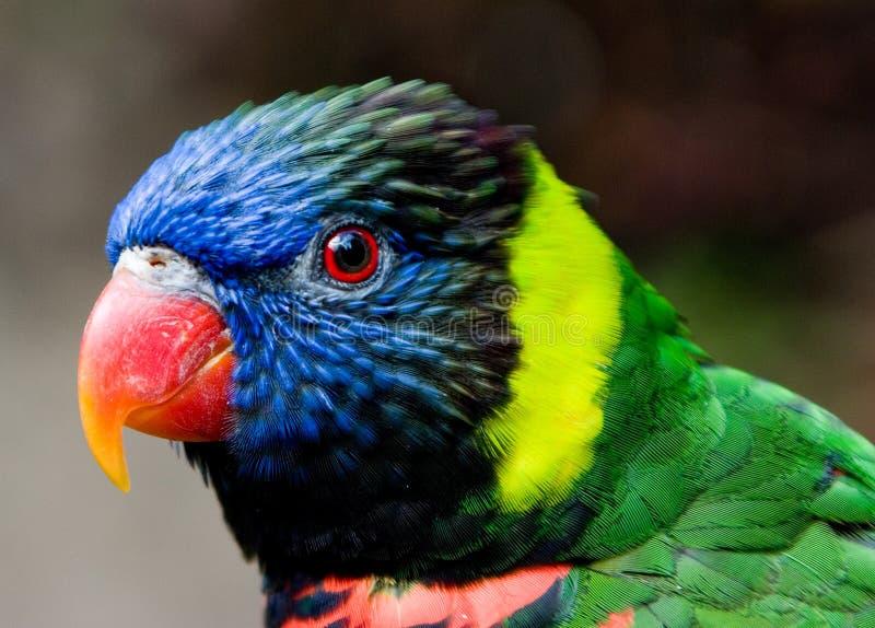 Pássaro colorido do lorikeet foto de stock royalty free