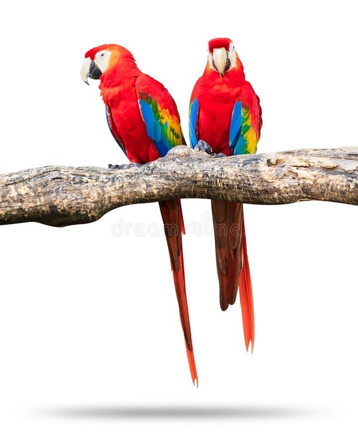 Pássaro colorido dos papagaios isolado no fundo branco Marcaw vermelho e azul nos ramos fotografia de stock