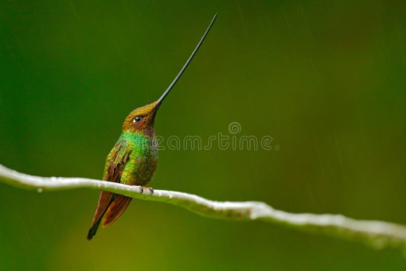 Pássaro com bico o mais longo colibri Espada-faturado, ensifera de Ensifera, pássaro com conta a mais longa inacreditável, habita fotografia de stock