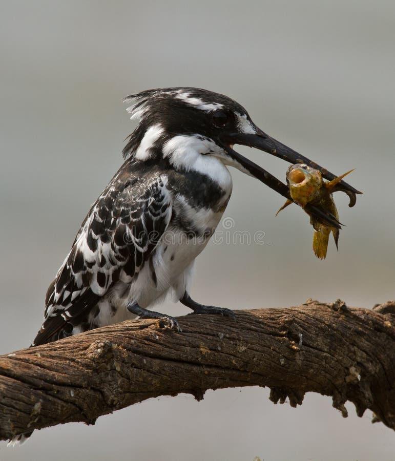 Pássaro com os peixes no bico   imagens de stock