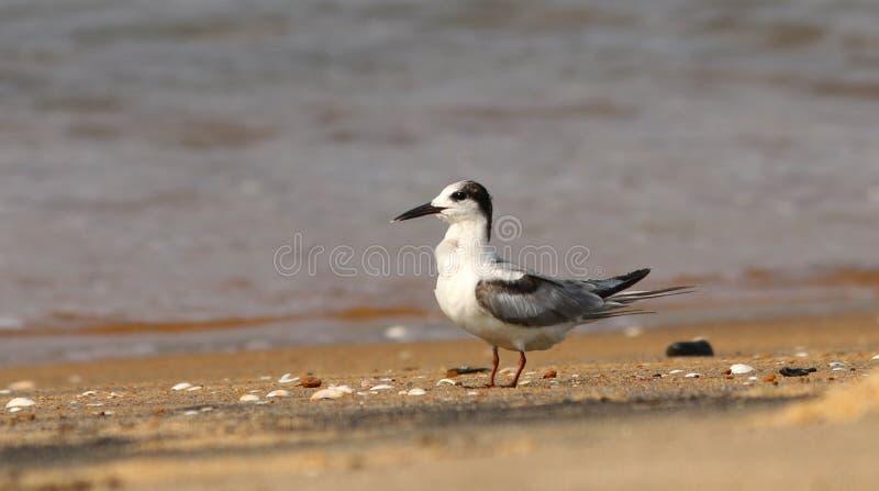 Pássaro com suíças da andorinha-do-mar fotos de stock royalty free