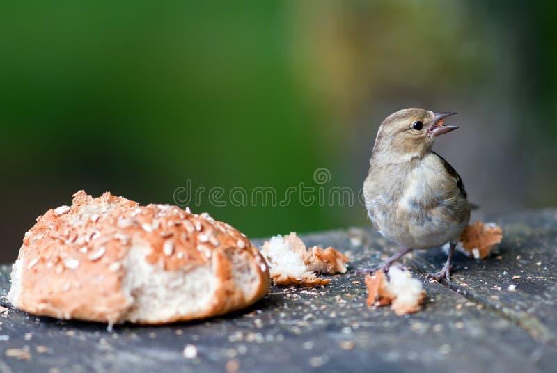Pássaro com um rolo de pão fotos de stock