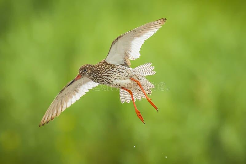 Pássaro comum da pernalta do totanus do tringa do redshank em voo fotografia de stock royalty free