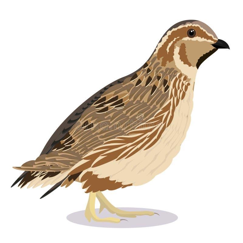 Pássaro comum das codorniz ilustração do vetor