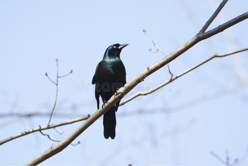 Pássaro comum de Grackle fotos de stock royalty free