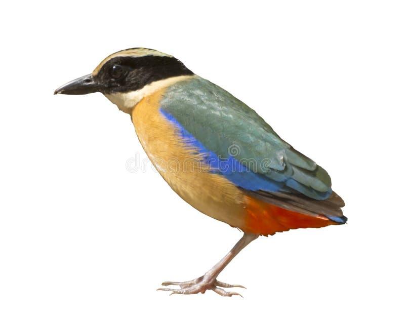 Pássaro comum de Pitta isolado imagens de stock
