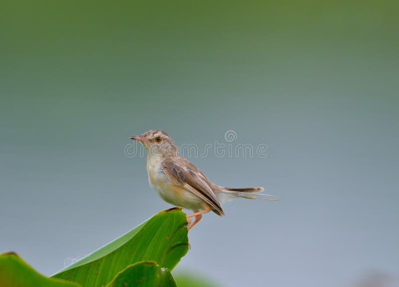 Pássaro comum do alfaiate (sutorius do Orthotomus) imagem de stock