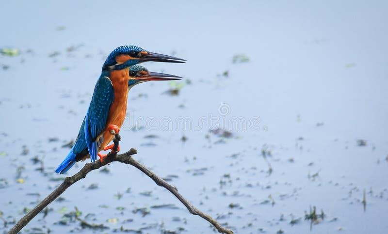 Pássaro comum do bangladeshiano do martinho pescatore imagens de stock royalty free