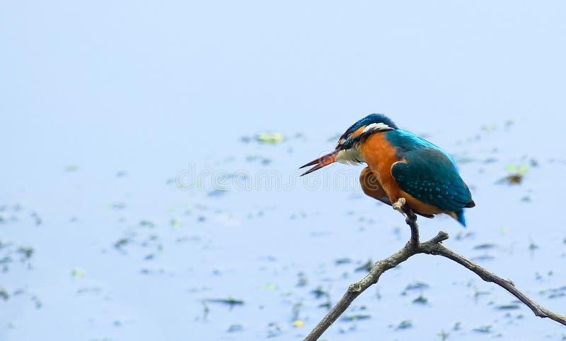 Pássaro comum do bangladeshiano do martinho pescatore imagem de stock