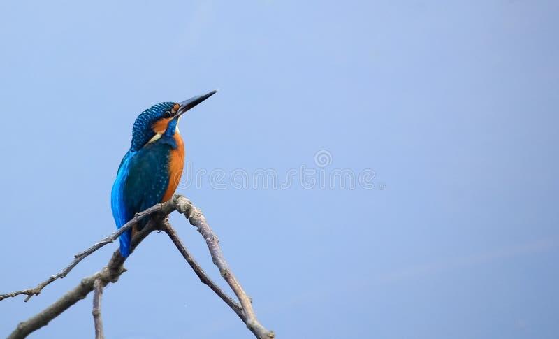 Pássaro comum do bangladeshiano do martinho pescatore imagem de stock royalty free