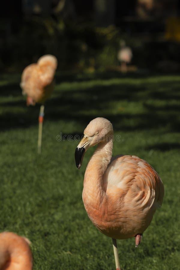 Pássaro cor-de-rosa do flamingo em uma paisagem da grama verde foto de stock royalty free