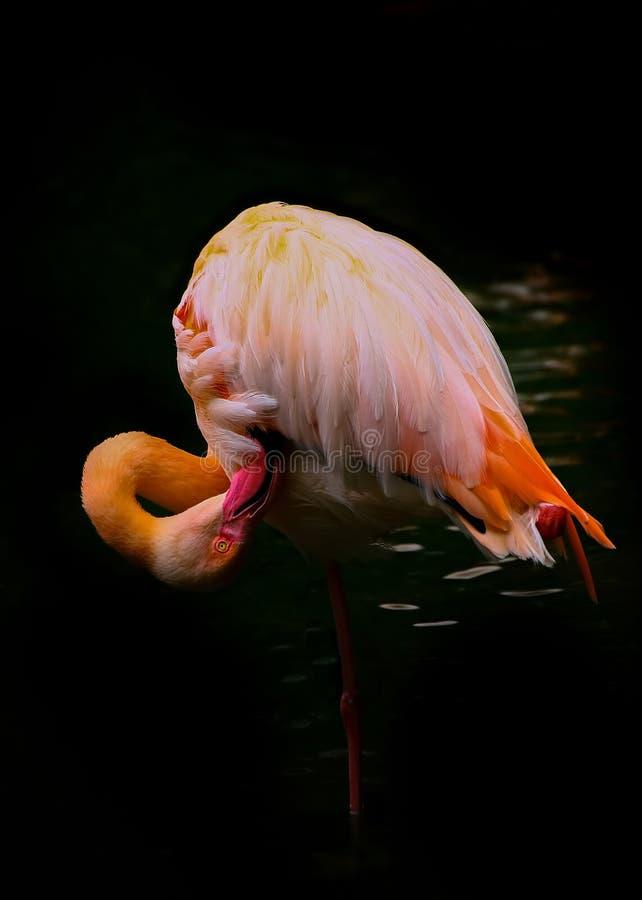 Pássaro cor-de-rosa de poda do flamingo contra o fundo preto fotografia de stock royalty free